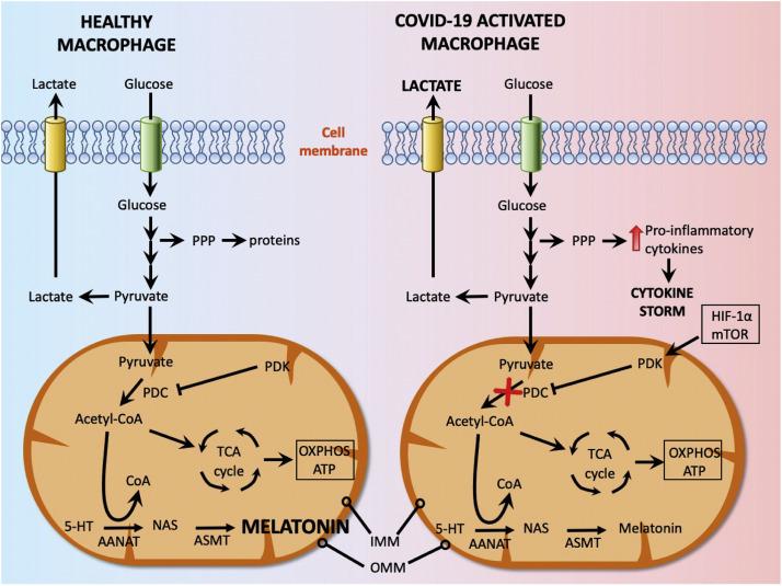 Wytwarzanie endogennej melatoniny podczas COVID-19: mechanizm działania